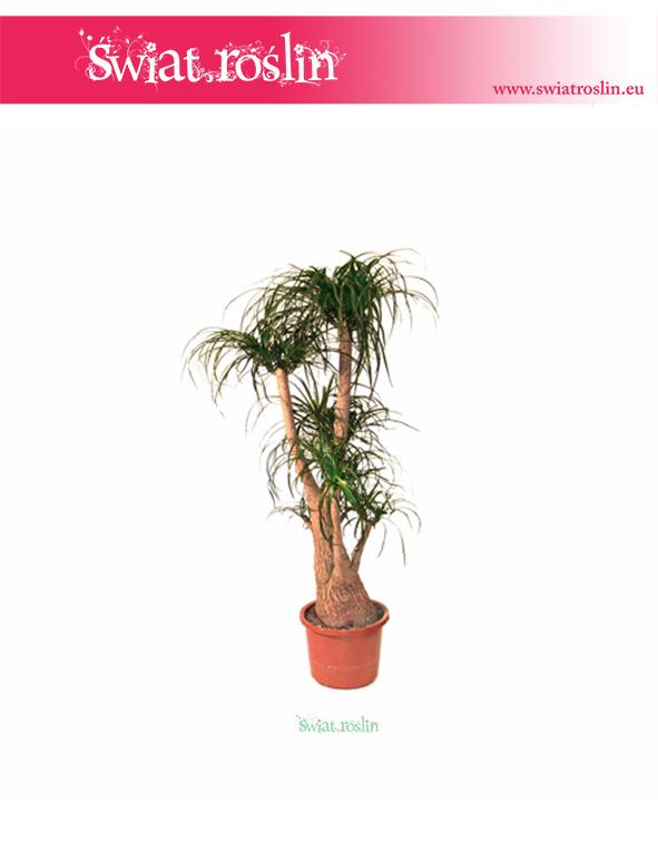Beaucarnea-Recurvata-–-Nolina, duże rośliny doniczkowe