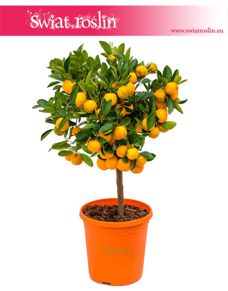 Citrus Mitis, Calamondin, Kalamondyna