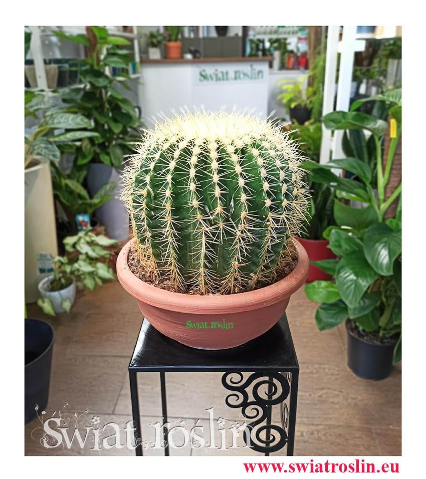 Echinokaktus Grusona, Echinocactus Grusonii, Kaktus Cactus Fotel teściowej, internetowy sklep z roślinami doniczkowymi