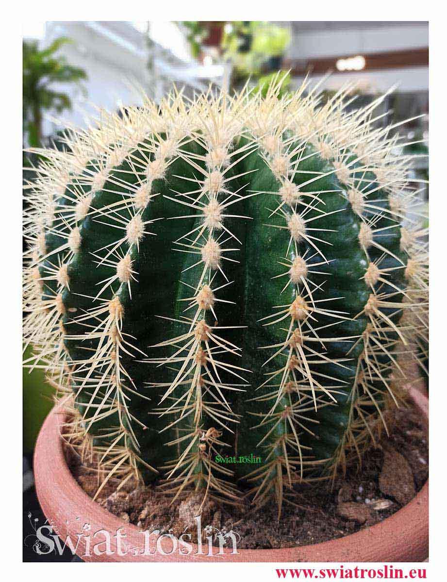 Echinokaktus Grusona, Echinocactus Grusonii, Kaktus, Cactus, Fotel teściowej, kwiaty doniczkowe, rośliny doniczkowe