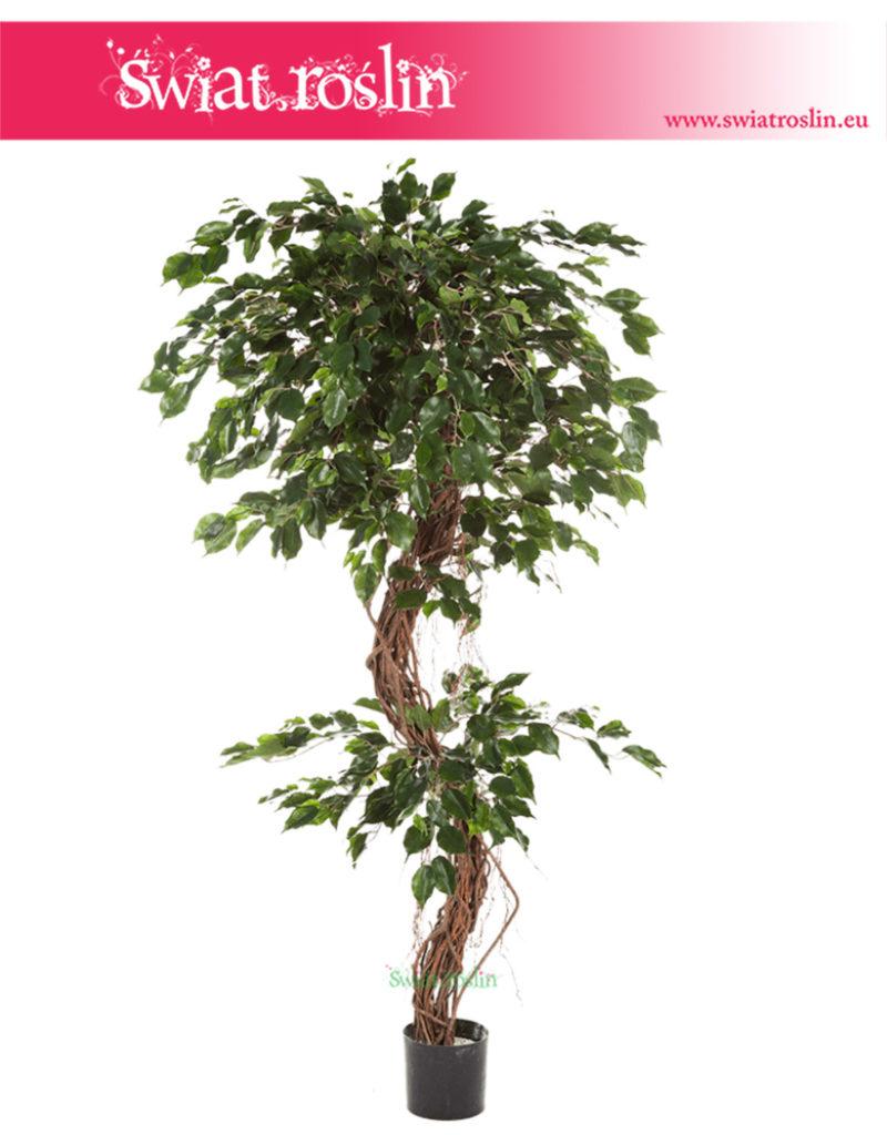 Fikus, Ficus corkscrew exotica, Figowiec exotica,  Fikus Sztuczny, rosliny doniczkowe sklep internetowy, online, stacjonarny
