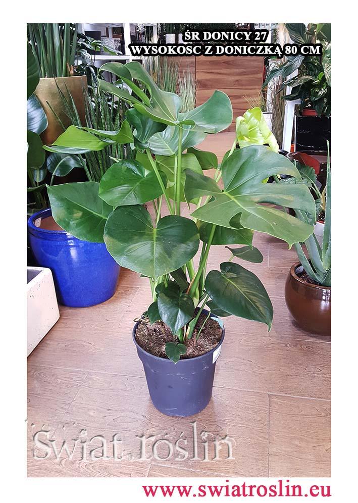 Monstera, Filodendron dziurawy, Philodendron Pertusem, rośliny doniczkowe, rosliny do biura, rosliny firmy