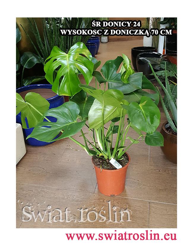 Monstera, Filodendron dziurawy, Philodendron Pertusem, rośliny pokojowe, kwiaty doniczkowe, rośliny do firmy