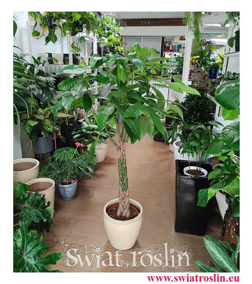 Pachira wodna, Pachira Aquatica, duża roślina do mieszkania, duża roślina do biura