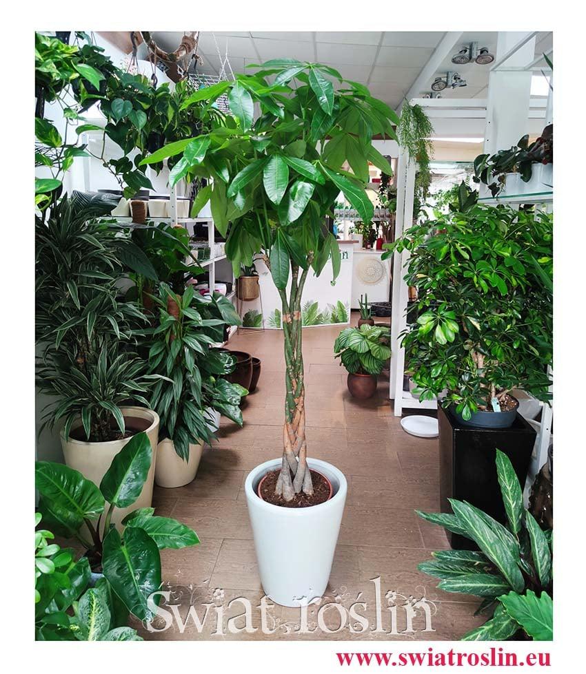 Pachira wodna, Pachira Aquatica, duża roślina doniczkowa, duża roślina do salonu