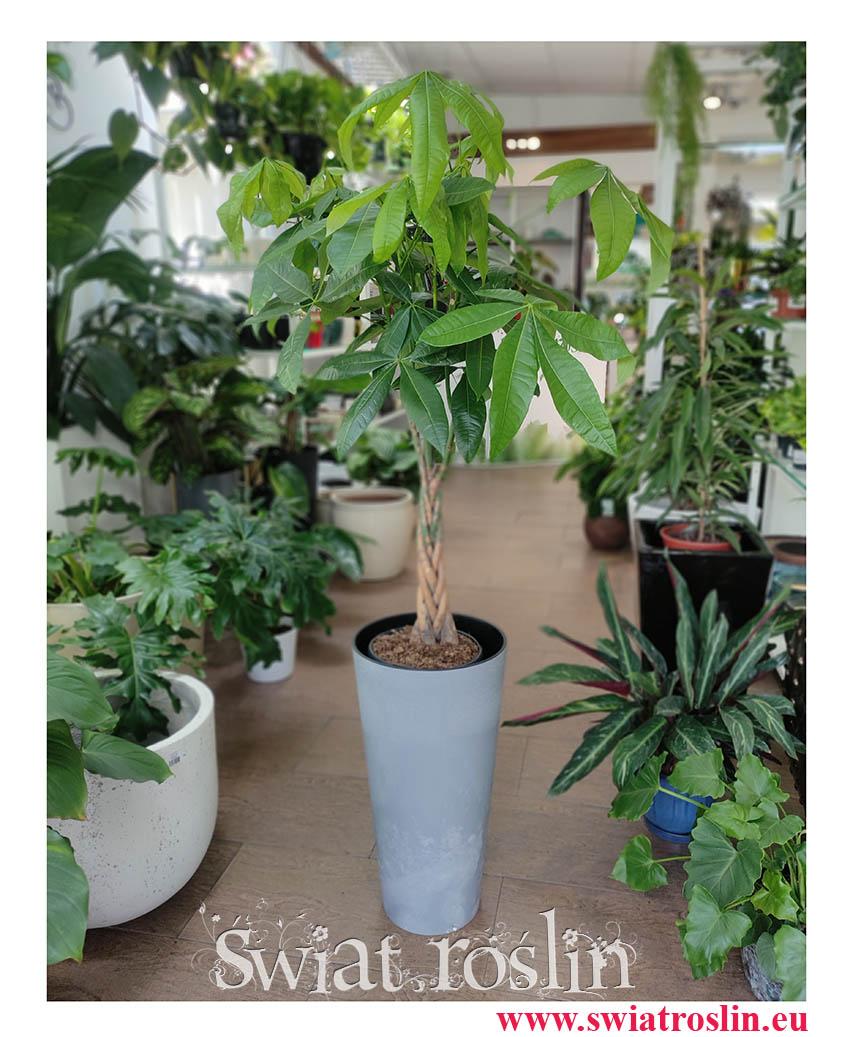 Pachira wodna, Pachira Aquatica, duża roślina egzotyczna, duża roślina tropikalna