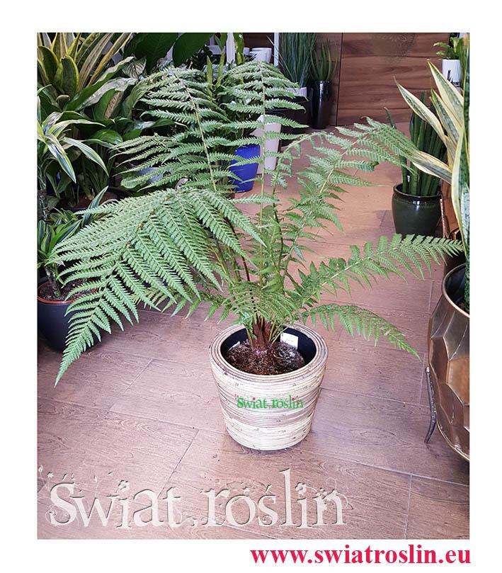 Paproć Drzewiasta, Dicksonia Antarctica, rośliny doniczkowe, rośliny do hotelu, świat roślin