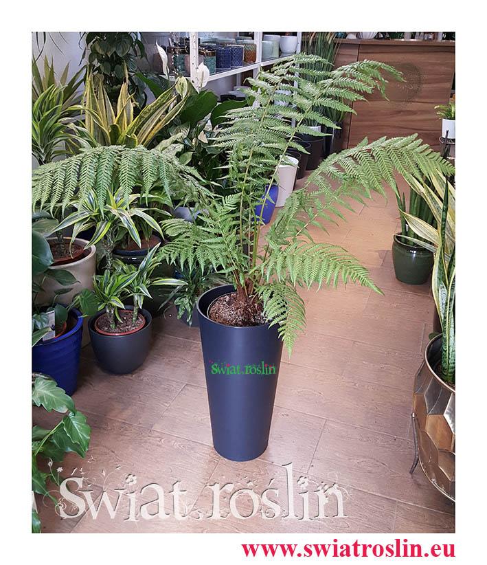 Paproć Drzewiasta, Dicksonia Antarctica, rośliny kraków, sklep z roślinami doniczkowymi, rośliny do biura, rośliny do firmy