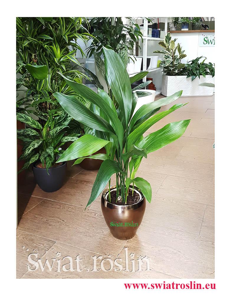 Aspidistra Elatior, Aspidistra Wyniosła, Żelazny liść, kwiaty rośliny doniczkowe, rośliny kraków