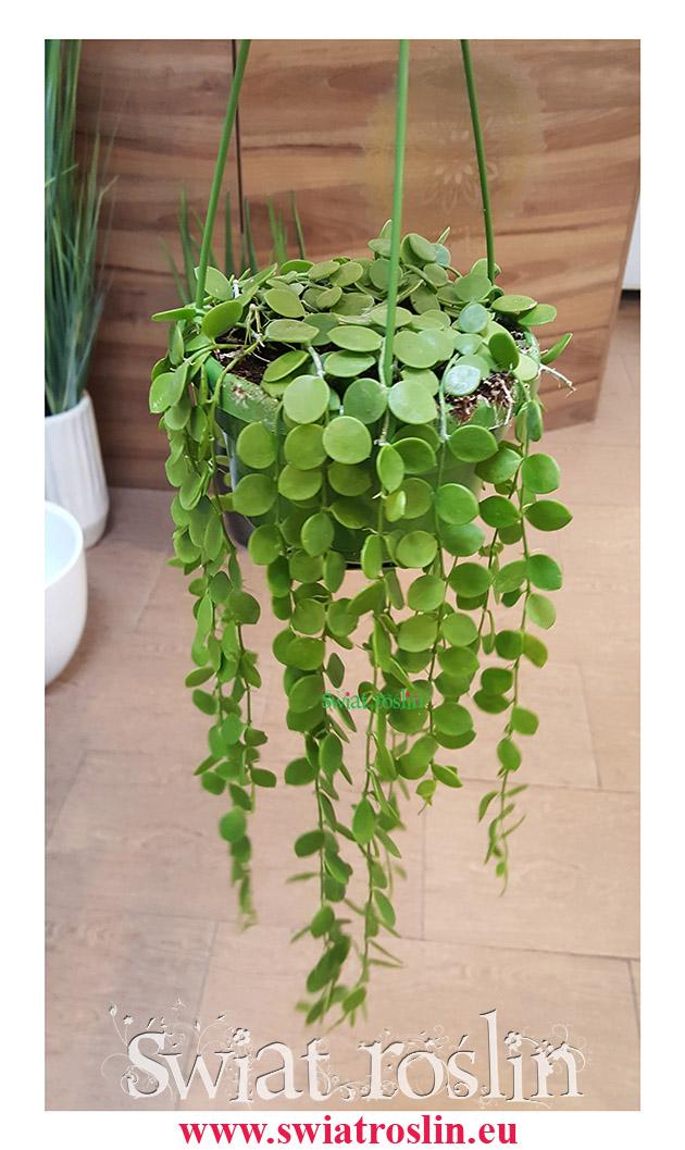 Dischidia Okrągłolistna, Dischidia Nummuralia, Guzikowa roślina, świat roślin, sklep pnącza