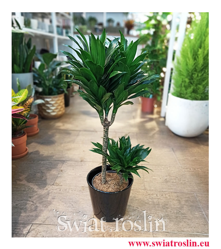 Dracaena Compacta, Dracena Kompakta, Smokowiec, rośliny doniczkowe, popularne rośliny, modne rośliny