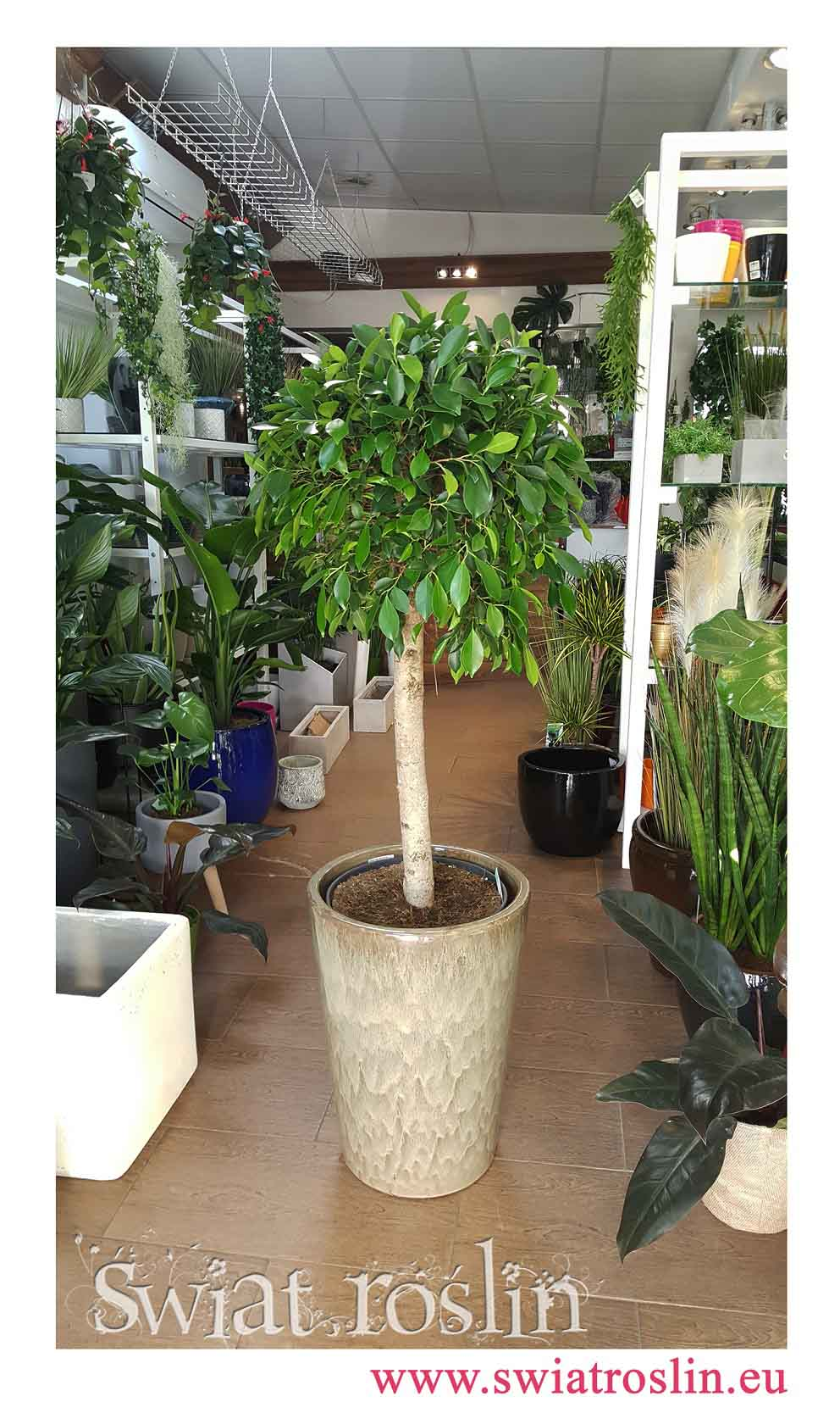 Fikus Nitida, Ficus Nitida, Figowiec Nitida, internetowy sklep z roślinami, rośliny doniczkowe, rośliny Kraków