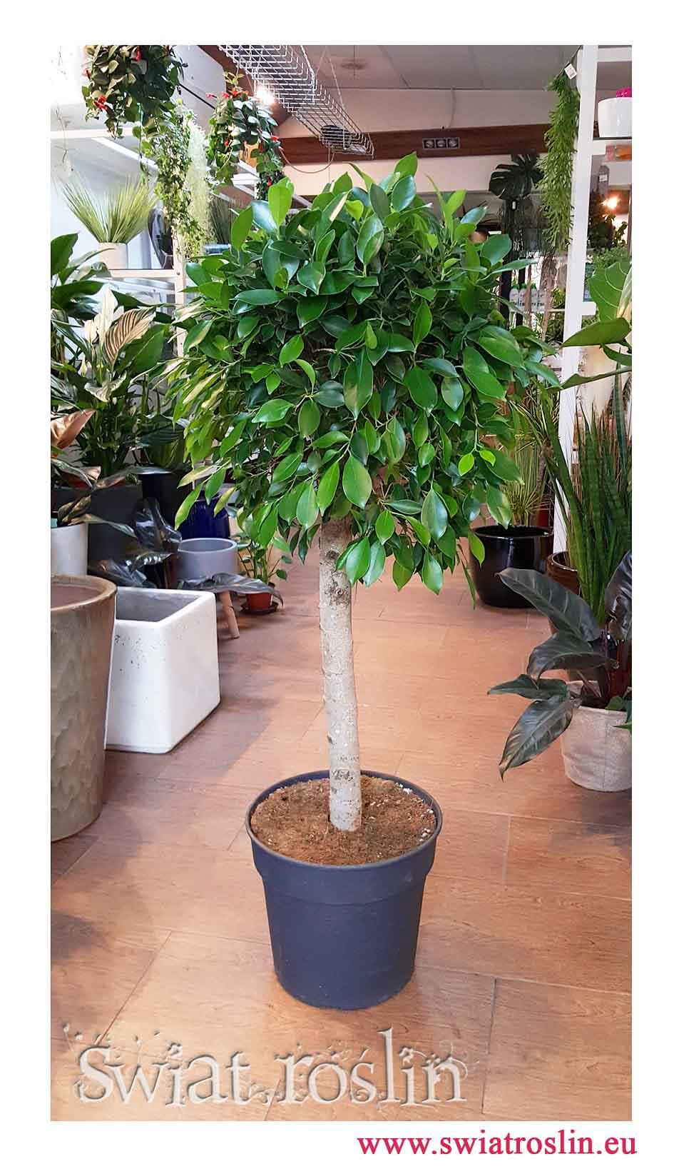 Fikus Nitida, Ficus Nitida, Figowiec Nitida, rosliny do biura, rośliny do firmy, rosliny doniczkowe