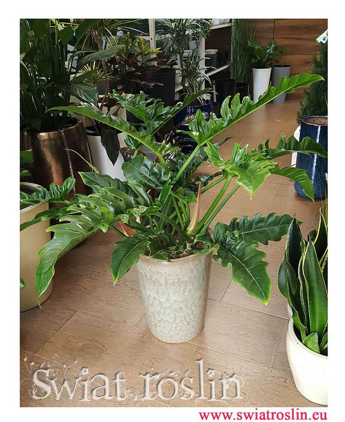 Philodendron Narrow, Filodendron Narrow, Filodendron Wąski Tygrysi Ząb, Philodendron Narrow Tiger Tooth, duze rosliny doniczkowe