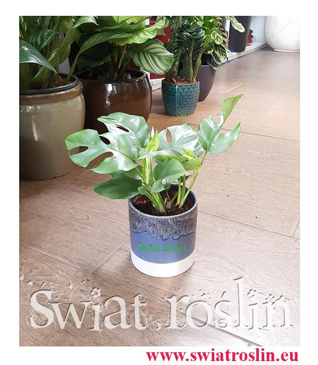 Monstera Minima, Rhaphidophora Tetrasperma, Monstera Miniaturowa, Filodendron minima Philodendron, kwiaty rośliny doniczkowe
