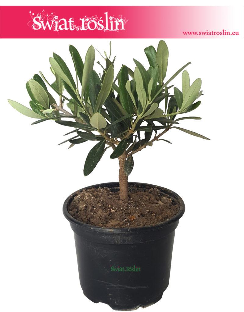 Olea-Europaea-Oliwka-Europejska-Drzewko-miniaturka-2-800x1024