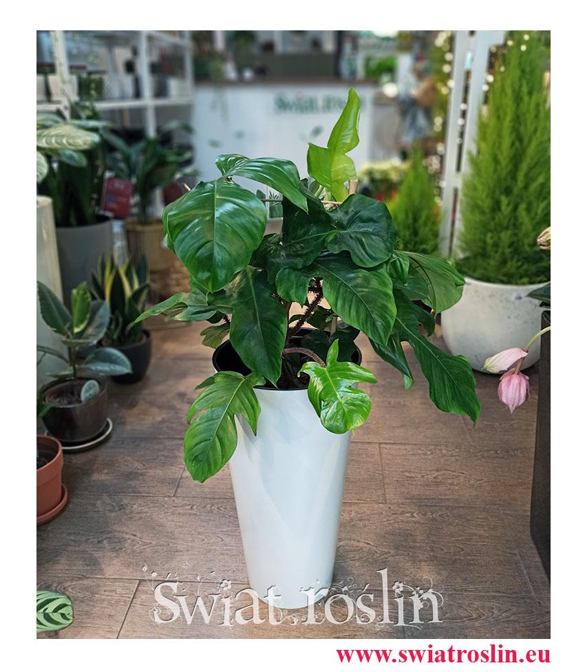 Rośliny doniczkowe, Filodendron Squamiferum, Philodendron Squamiferum, internetowy sklep z roslinami doniczkowymi, rośliny Kraków, wysyłka roślin