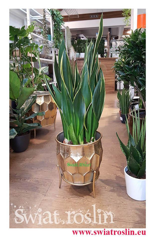 Sansewieria Diamond Flame, Wężownica, Sansevieria Diamond Flame, rośliny do biurowca, do galerii