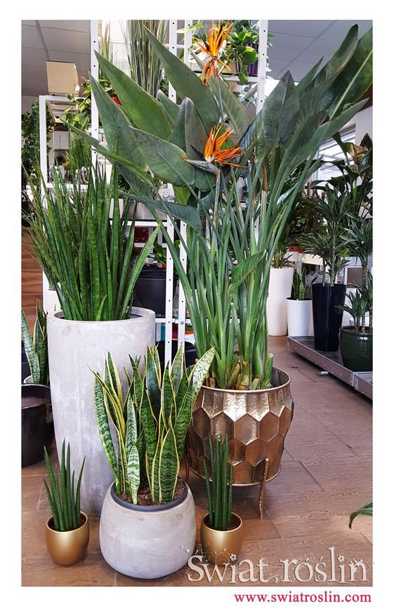 Sansewieria, Strelicja Królewska, Świat Roślin, Rośliny doniczkowe sklep, wysyłka roślin doniczkowych, kwiaty doniczkowe