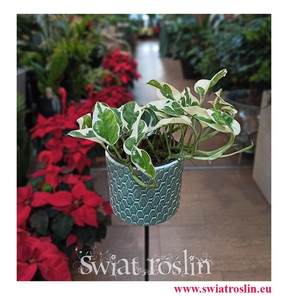 Scindapsus Njoy, Epipremnum,  Epipremnum Njoy, Epipremnum variegata, Scindapsus variegata, Scindapsus, Świat Roślin ,rosliny doniczkowe, sklep z roslinami doniczkowymi, Kwiaty doniczkowe