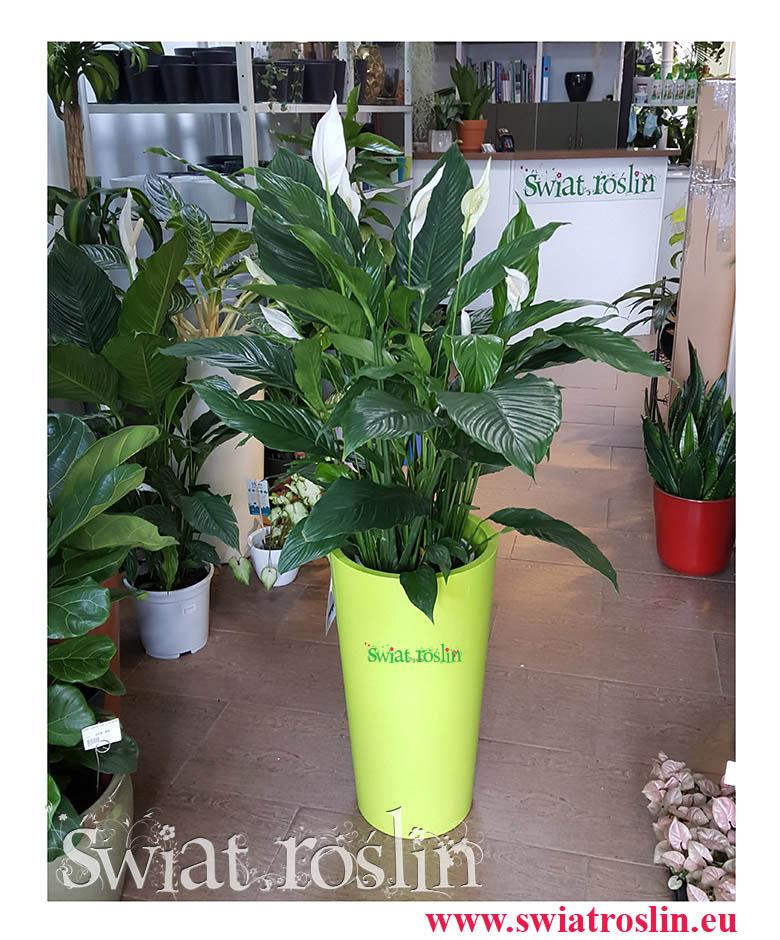 Skrzydłokwiat, Spathiphyllum Sweet Sebastiano, Skrzydłokwiat Sweet Sebastiano, Spathiphyllum, Duże kwiaty rosliny doniczkowe