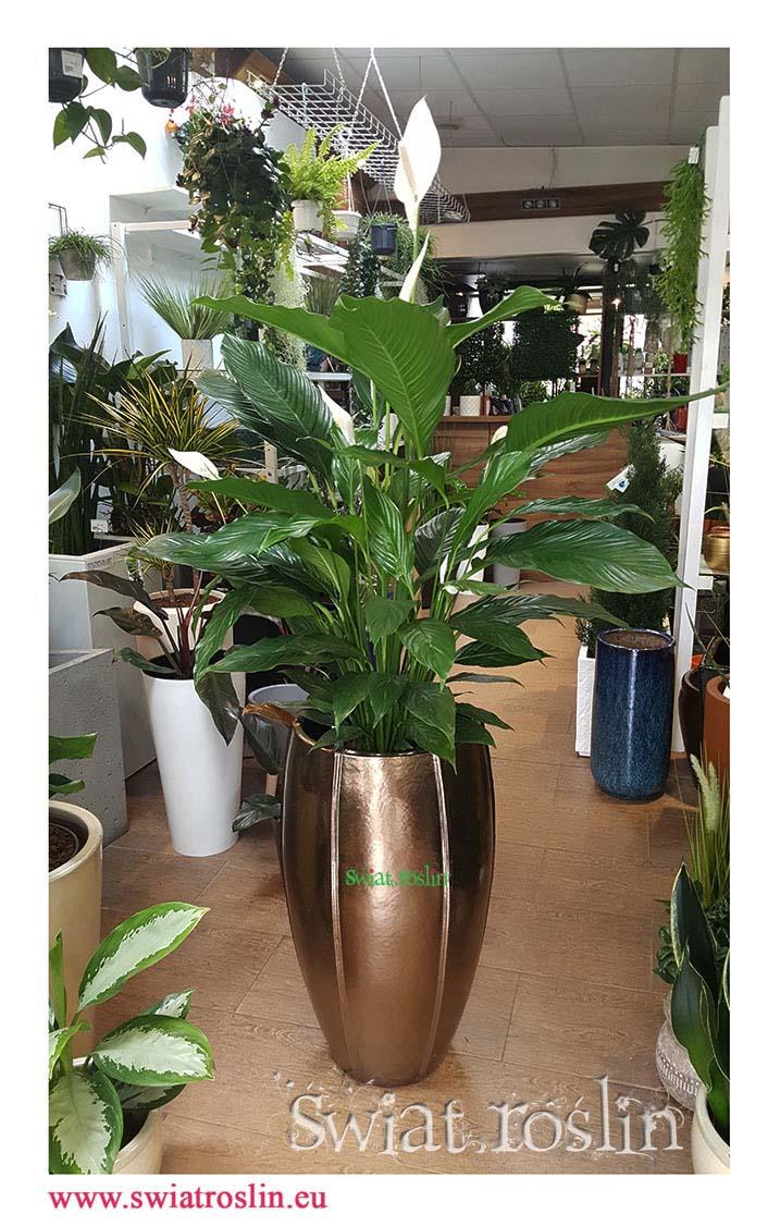 Skrzydłokwiat, Spathiphyllum Sweet Sebastiano, Skrzydłokwiat Sweet Sebastiano, sklep z roslinami doniczkowymi, wysyłka dużych roślin doniczkowych