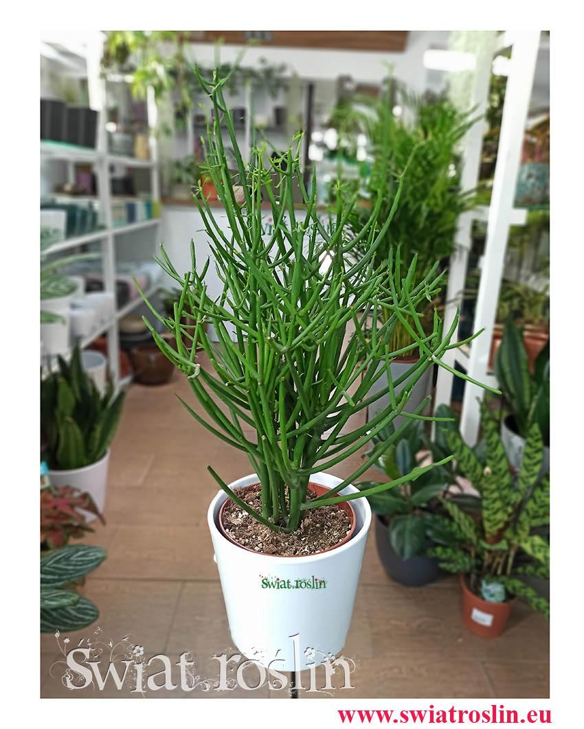 Wilczomlecz Ołówkowy, Euphorbia Tirucalli, Patyczak, Wilczomlecz palczasty, sklep z roslinami w Krakowie
