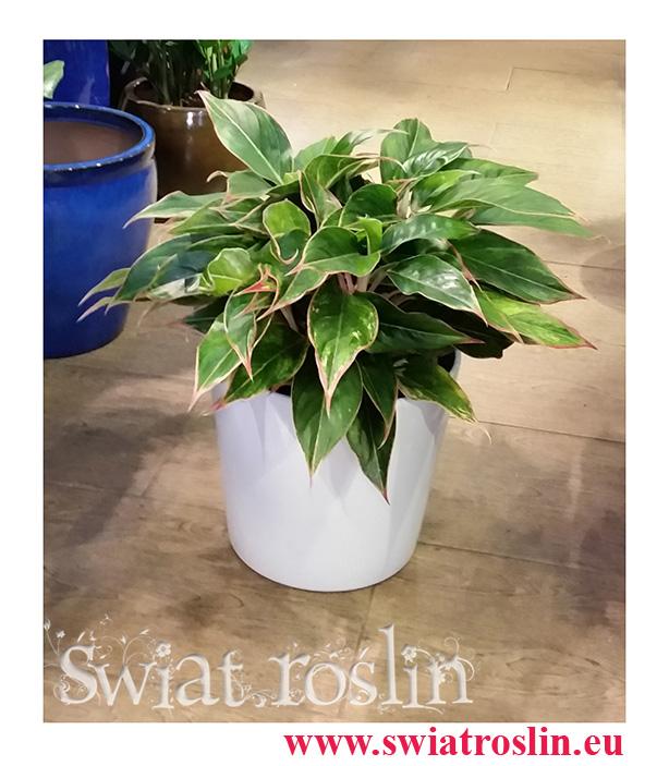 Aglonema Tivoli, Aglaonema Tivoli, rosliny doniczkowe sklep,  kraków rośliny