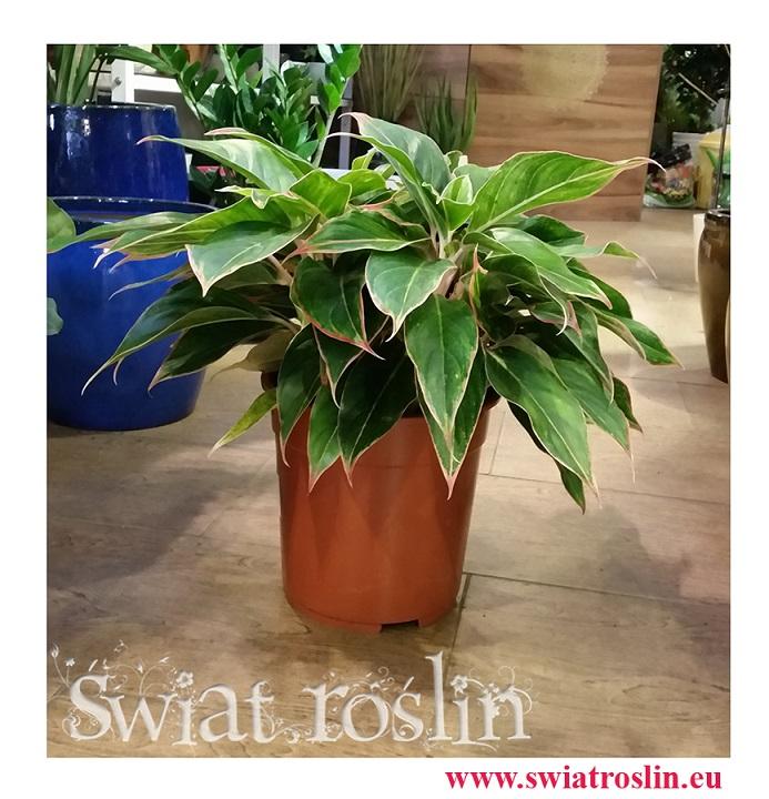 Aglonema Tivoli, Aglaonema Tivoli, sklep z roslinami doniczkowymi, wysyłka roślin