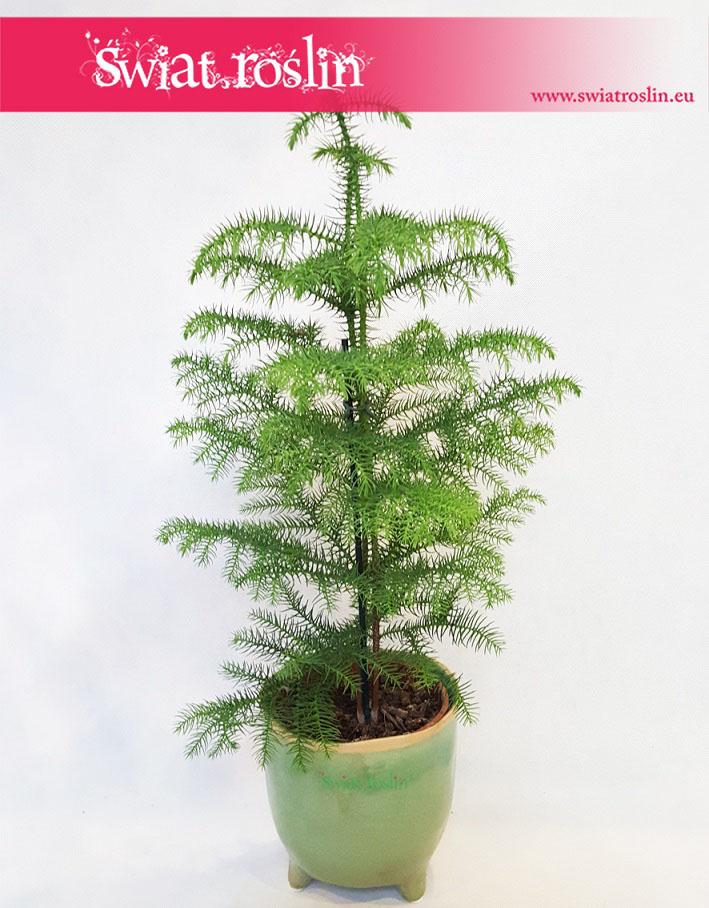 Araukaria wyniosła, Araucaria heterophylla, rośliny doniczkowe, rosliny do biura, rosliny kraków, kwiaty doniczkowe