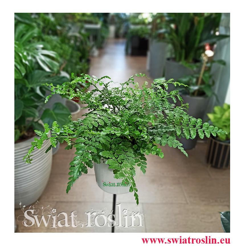 Asplenium Parvati, Paproć Asplenium Parvati, Paprotka Asplenium Parvati Zanokcica, kwiaty rośliny doniczkowe