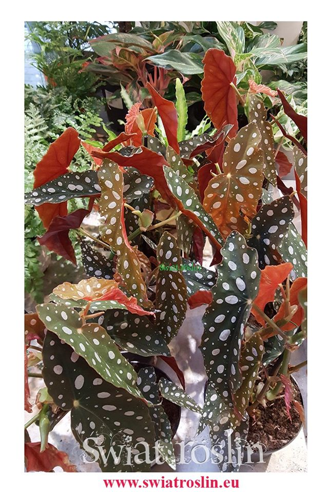 Begonia Maculata, Begonia Plamista, Begonia Koralowa, Ukośnica 9