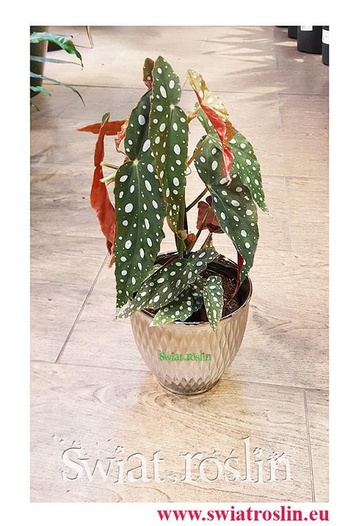 Begonia Maculata, Begonia Plamista, Begonia Koralowa, Ukośnica
