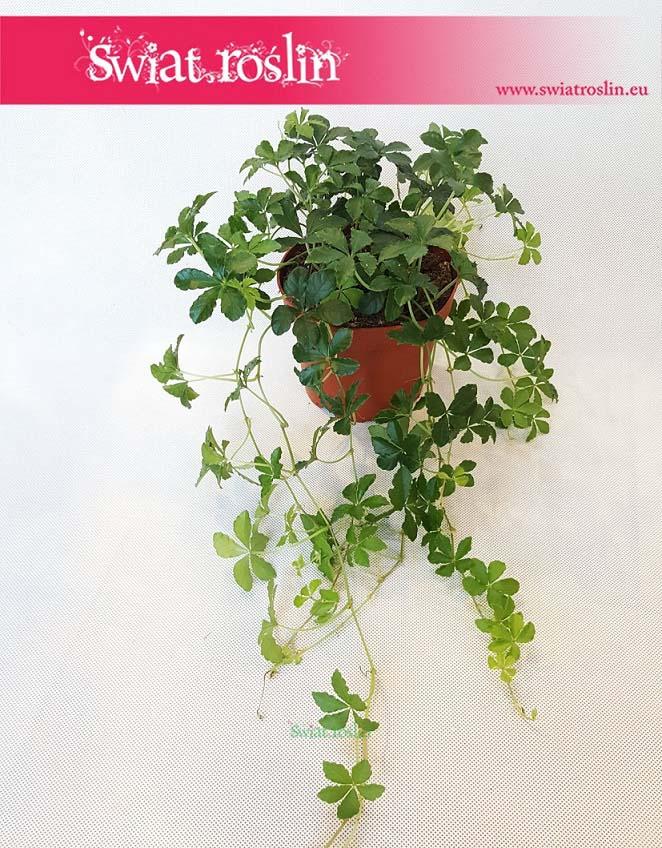 Cissus Prążkowany, Cissus Pasiasty, Cissus Striata, rośliny doniczkowe Kraków, Świat Roślin