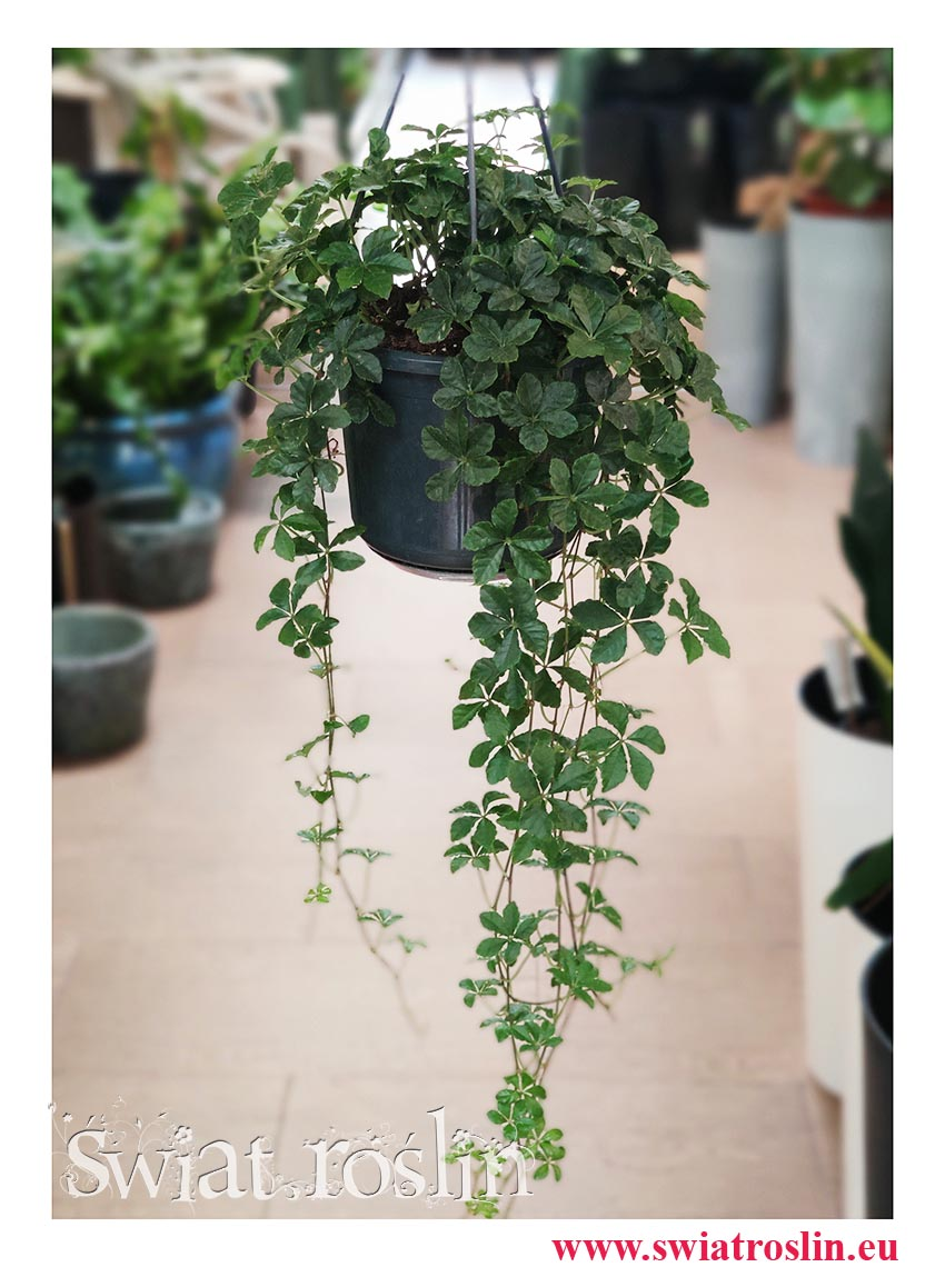 Cissus Striata, Cissus Prążkowany, Cissus Pasiasty, Cissus Striata śr 15 cm, Rośliny wiszące, rośliny tropikalne, pnącza