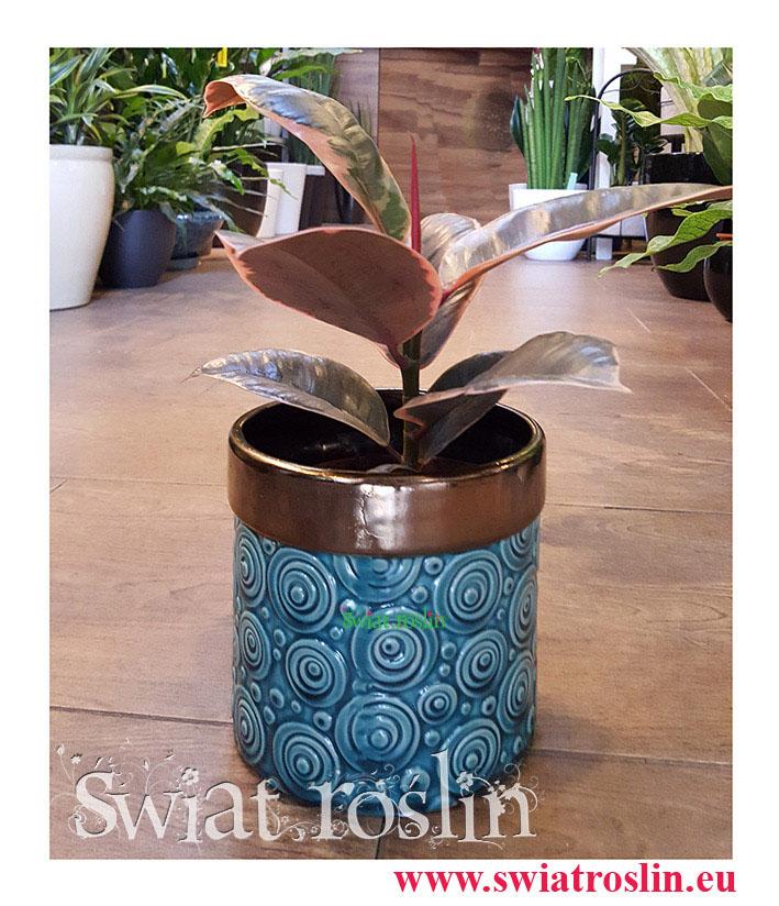 Ficus Elastica Belize, Fikus Elastica Belize, Fikus Sprężysty, Rośliny doniczkowe sklep, wysyłka roślin, rosliny Kraków, modne rośliny