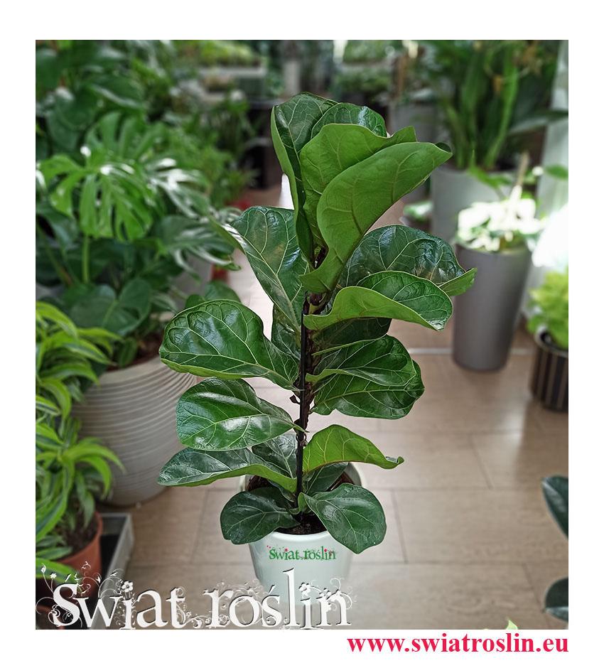 Ficus Lyrata Bambino, Fikus Lyrata Bambino, Fikus Dębolistny Bambino, Figowiec Lirolistny Bambino, kwiaty rośliny doniczkowe