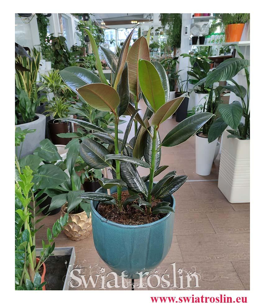 Ficus elastica Melany, Fikus Elastica Melany, Figowiec sprężysty Melany, kwiaty doniczkowe, kwiaty pokojowe