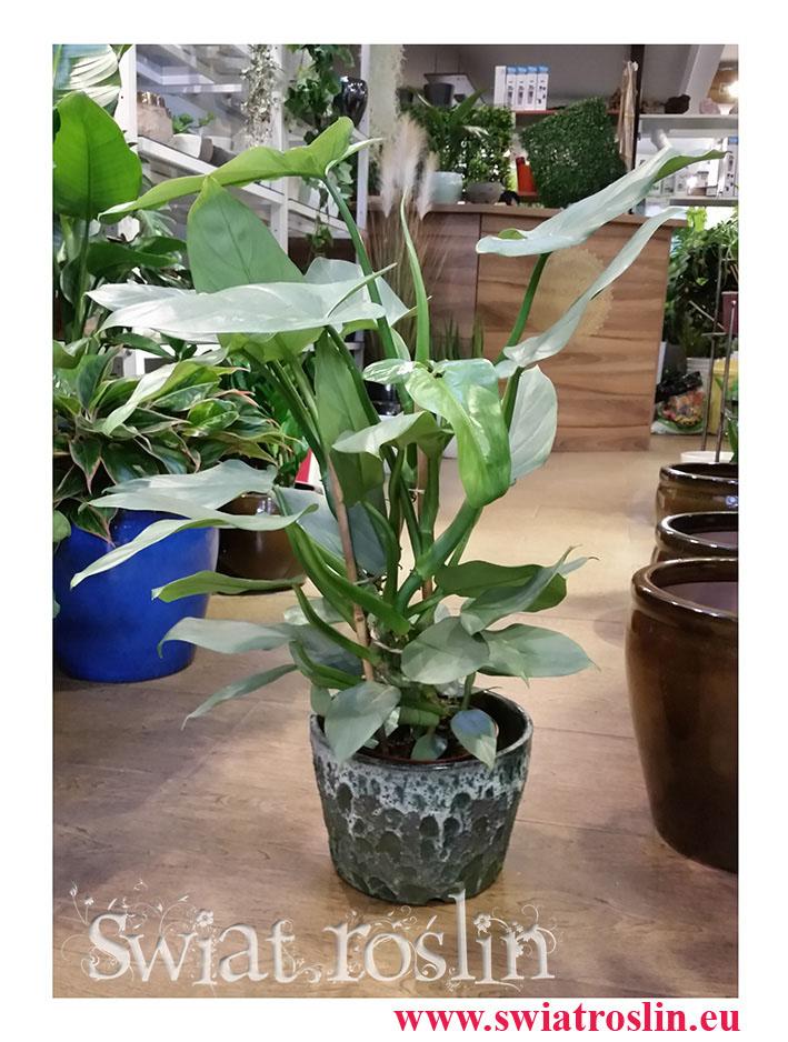 Filodendron Hastatum, Philodendron Hastatum internetowy sklep z roślinami doniczkowymi, wysyłka roślin doniczkowych,