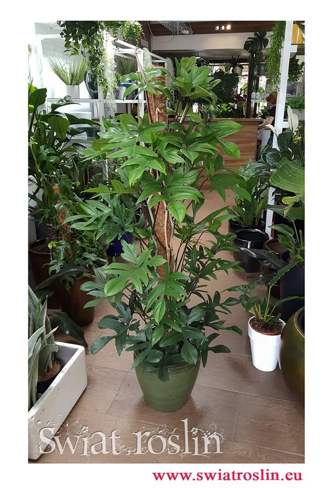 Filodendron Pedatum, Philodendron Pedatum, Filodendron Postrzępiony, sklep z rołsinami doniczkowymi, rośliny Kraków