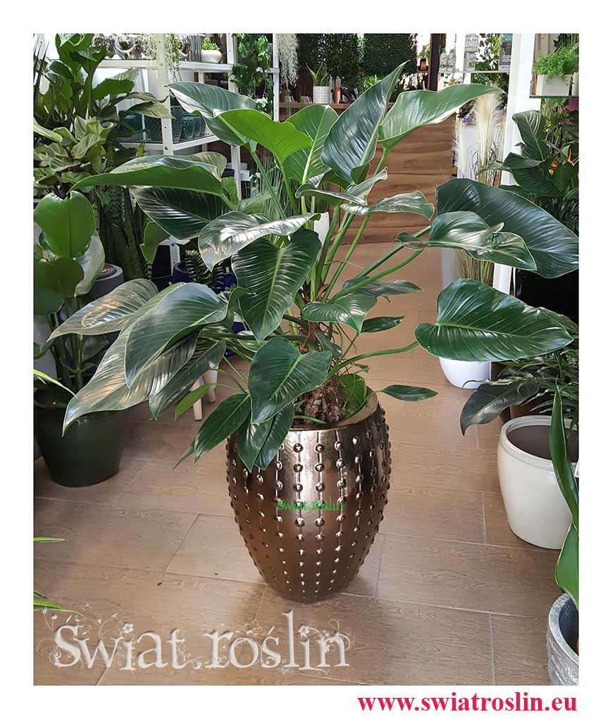 Philodendron Green Beauty, Filodendron Green Beauty, Rośliny Kraków, rośliny doniczkowe, rośliny do biura, rośliny do hotelu