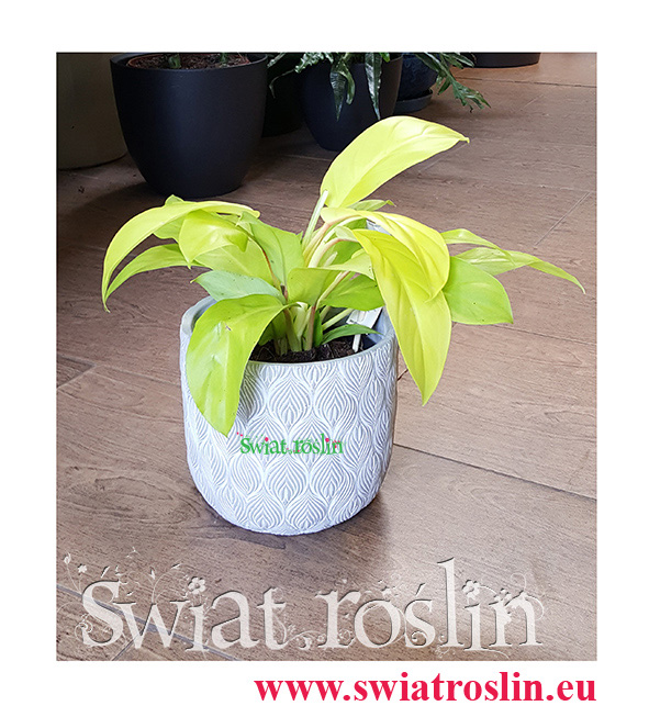 Philodendron Malay Gold, Philodendron Hansotis Gold, Filodendron Malay Gold, Filodendron Hansotis Gold,