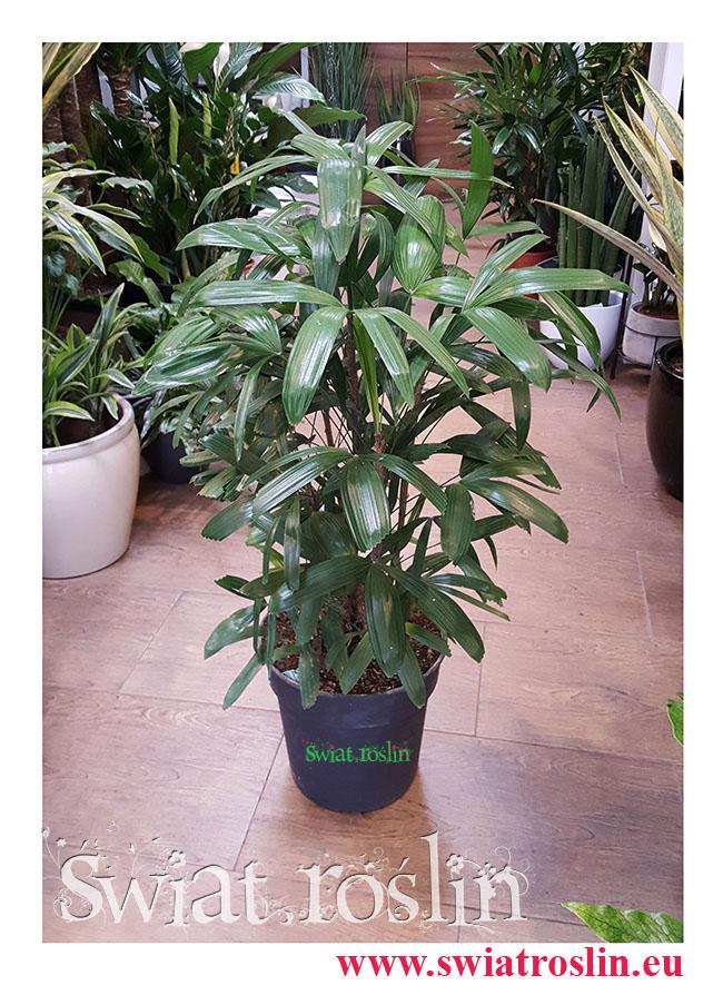Rhapis Multifida, Palma Palczasta, Finger Palm, Lady Palm, rośliny doniczkowe, rośliny Kraków, Świat roślin,