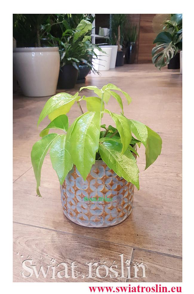 Schefflera Golden Amate, Szeflera Golden Amate, Schefflera Actinophylla, Szeflera Ostrolistna, rośliny do pokoju, świat roślin