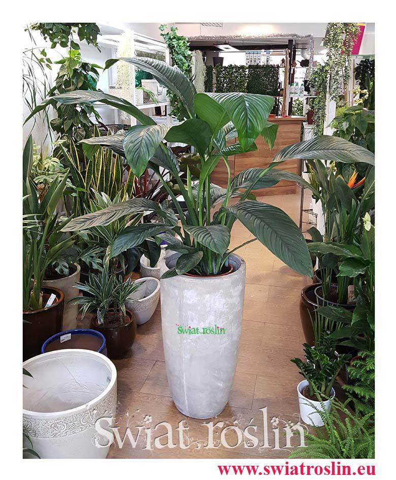 Skrzydłokwiat, Spathiphyllum Sensation, Skrzydłokwiat Sensation, duże rolsiny doniczkowe