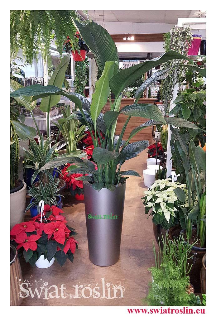 Skrzydłokwiat, Spathiphyllum Sensation, Skrzydłokwiat Sensation, rosliny Kraków