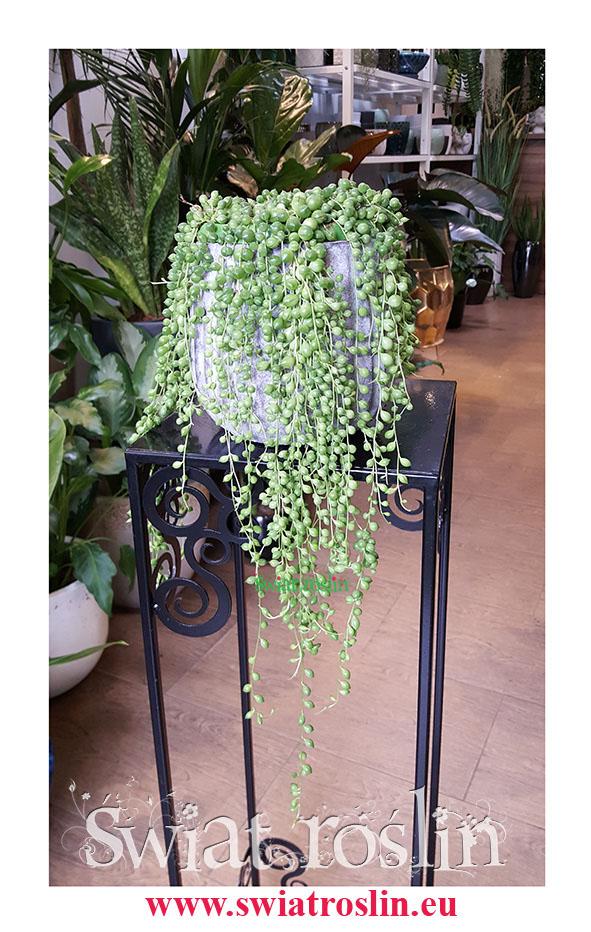 Starzec Rowleya, Starzec Zwisający, Senecio Rowleyanus, rośliny doniczkowe sklep Kraków, wysyłka roślin, modne, na topie rośliny