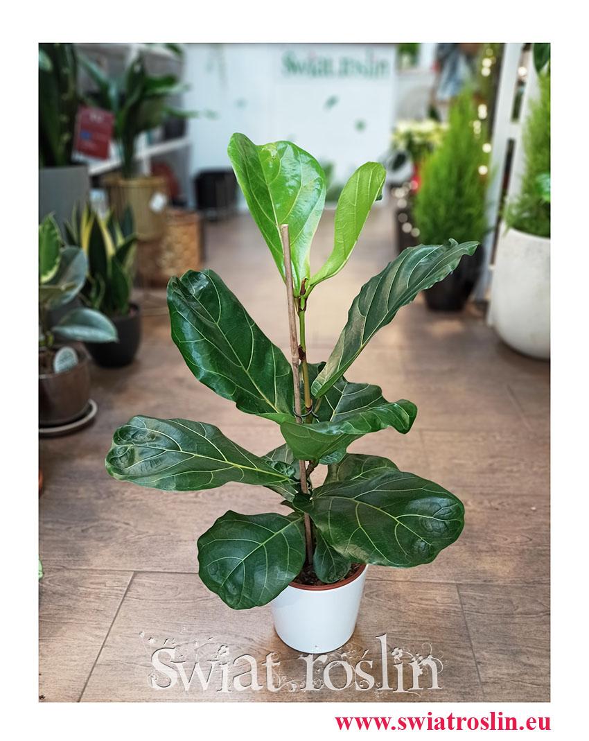 kwiaty doniczkowe, Ficus Lyrata, Fikus Lyrata, Fikus Dębolistny, Figowiec Lirolistny, duże rośliny doniczkowe