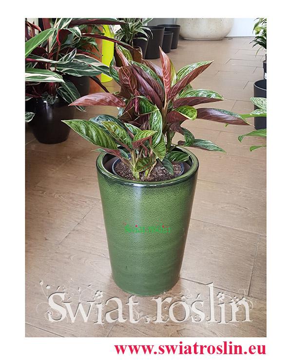 Aglaonema Chocolate, Aglonema Chocolate, Świat Roślin, rośliny doniczkowe, kraków rośliny, sklep z roślinami doniczkowymi