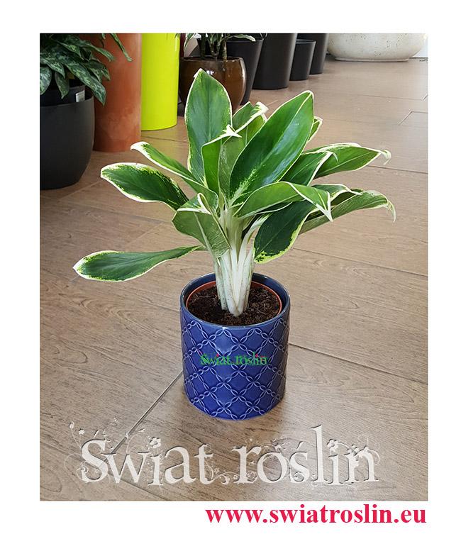 Aglaonema FLN011, Aglonema FLN011, Świat Roślin, rośliny doniczkowe, kraków rośliny, sklep z roślinami doniczkowymi
